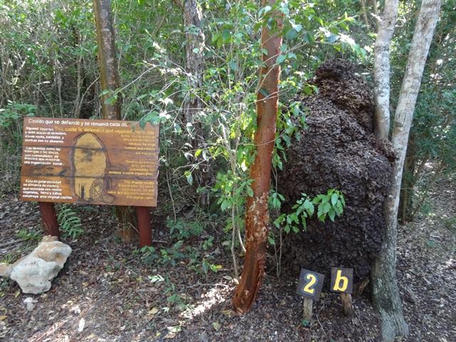 termites nest in La cueva de Ambrosio, Varadero, Blue Sky and Wine