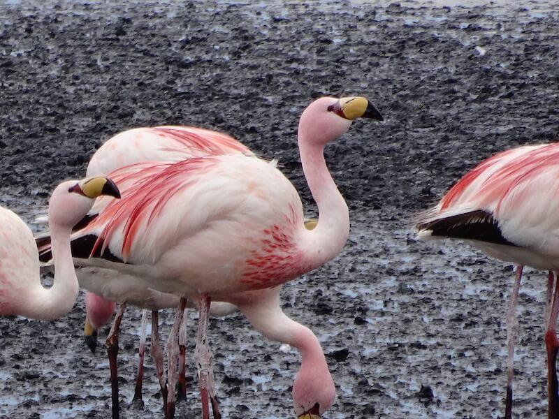 Wild Flamingo, Eduardo Avaroa National Park, Bolivia, Blue Sky and Wine