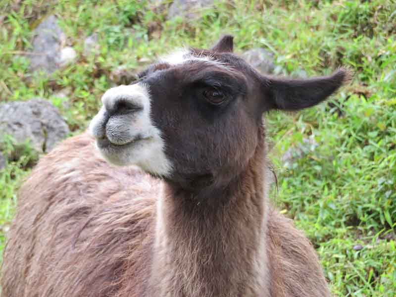 a llama in Kuelap, Blue Sky and Wine Travel Blog