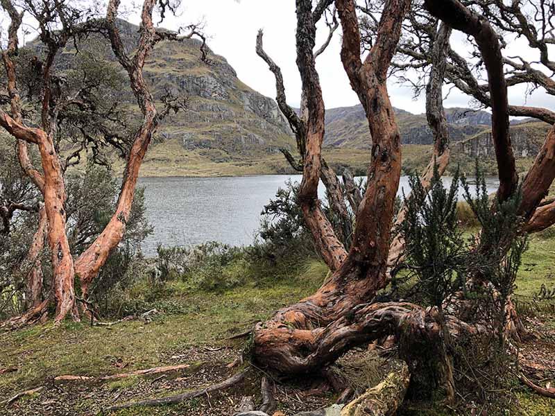 Ecuador Cajas National Park red paper tree