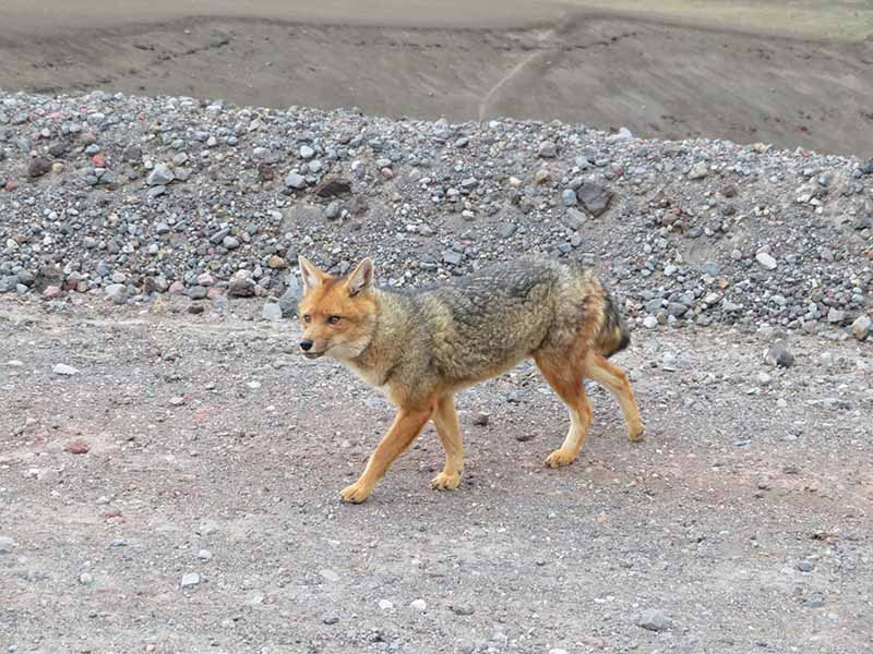 Wild fox in Cotopaxi Volcano, Blue Sky and Wine Travel Blog