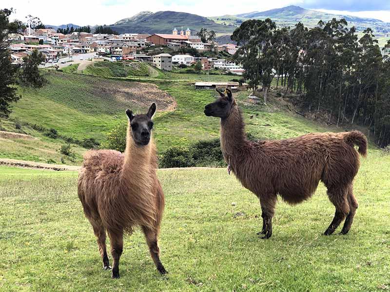 Ecuador ingapirca llamas